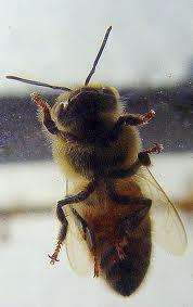 abeille vitre 1